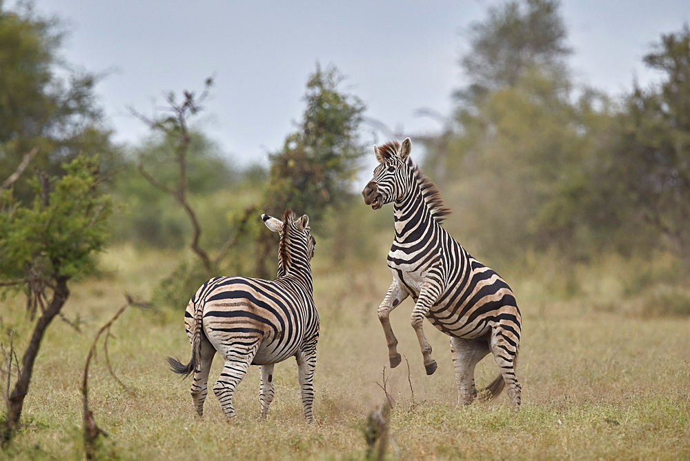 Chapman's Zebra or Plains Zebra (Equus quagga chapmani) sparring, Kruger National Park, South Africa - 764-6154