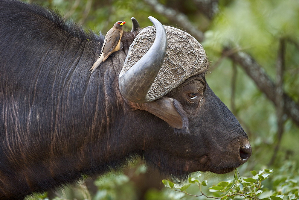 Cape Buffalo (Syncerus caffer) with a Yellow-Billed Oxpecker (Buphagus africanus), Kruger National Park, South Africa - 764-6156
