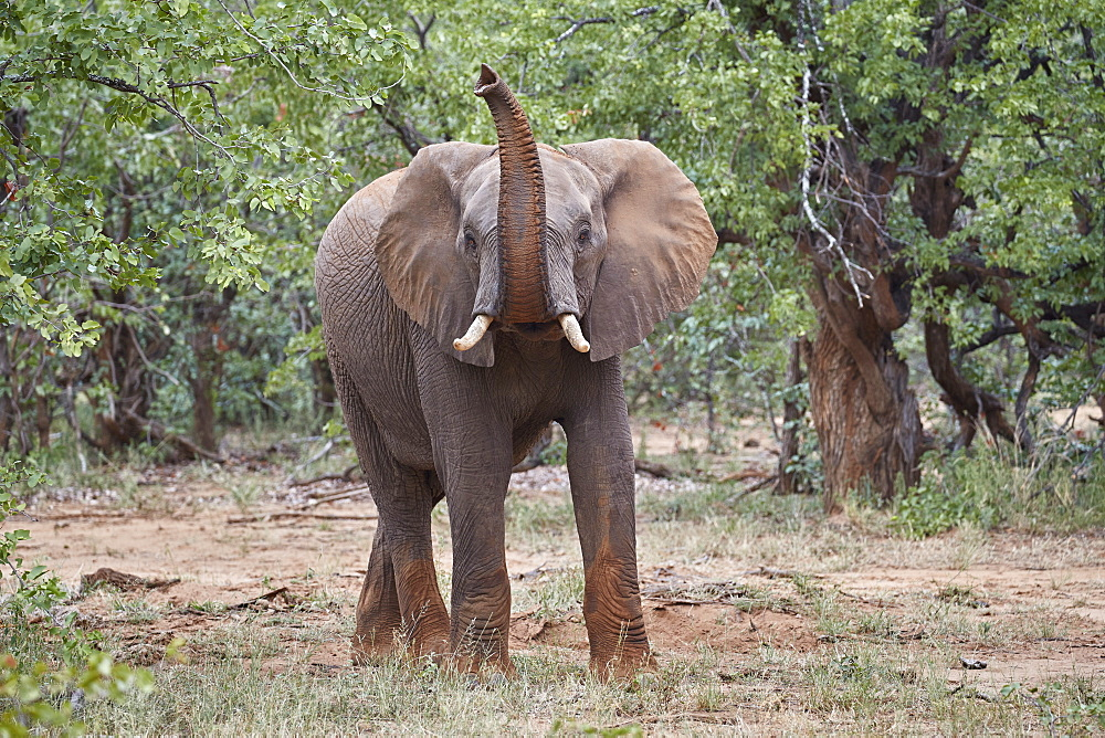 African Elephant (Loxodonta africana) with its trunk raised, Kruger National Park, South Africa, Africa