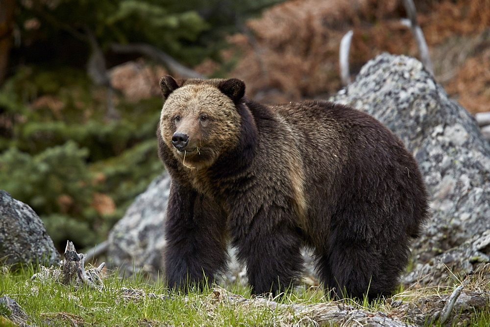 Grizzly Bear (Ursus arctos horribilis), Yellowstone National Park, UNESCO World Heritage Site, Wyoming, United States of America, North America