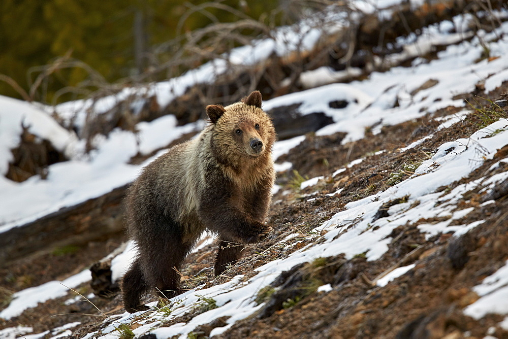 Grizzly Bear (Ursus arctos horribilis), yearling cub, Yellowstone National Park, UNESCO World Heritage Site, Wyoming, United States of America, North America
