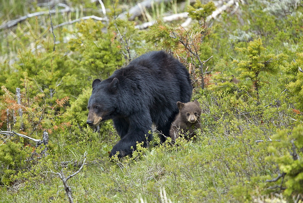 Black Bear (Ursus americanus) sow and chocolate cub-of-the-year, Yellowstone National Park, UNESCO World Heritage Site, Wyoming, United States of America, North America - 764-6185