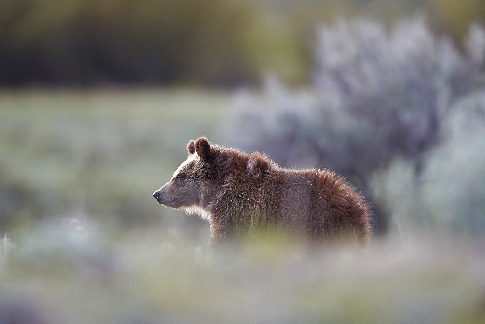 Grizzly Bear (Ursus arctos horribilis), yearling cub, Yellowstone National Park, UNESCO World Heritage Site, Wyoming, United States of America, North America - 764-6187