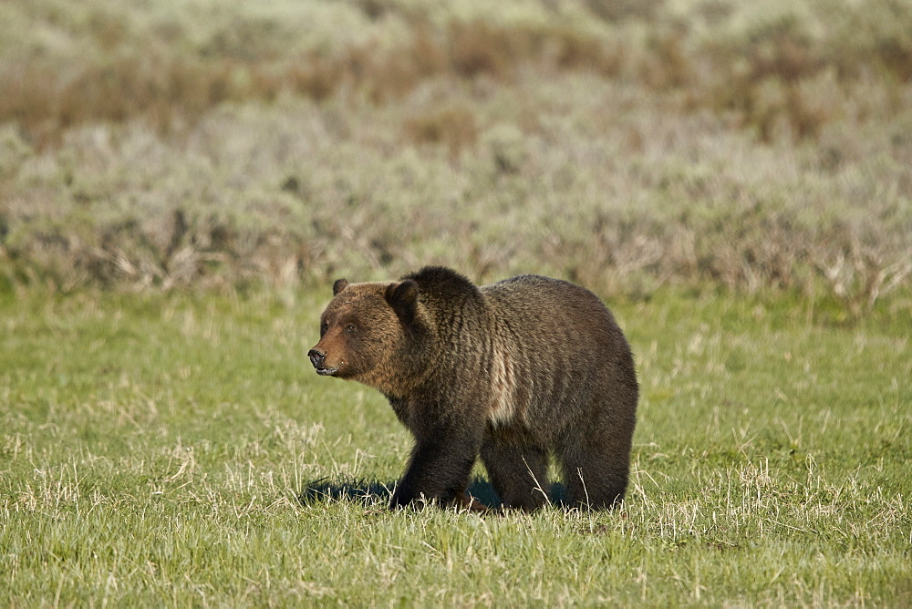 Grizzly Bear (Ursus arctos horribilis), Yellowstone National Park, UNESCO World Heritage Site, Wyoming, United States of America, North America - 764-6188