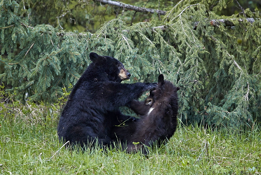 Black Bear (Ursus americanus) sow and yearling cub playing, Yellowstone National Park, UNESCO World Heritage Site, Wyoming, United States of America, North America - 764-6189