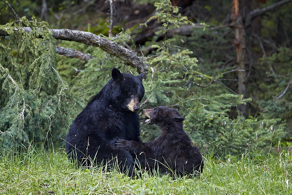 Black Bear (Ursus americanus) sow and yearling cub playing, Yellowstone National Park, UNESCO World Heritage Site, Wyoming, United States of America, North America - 764-6192