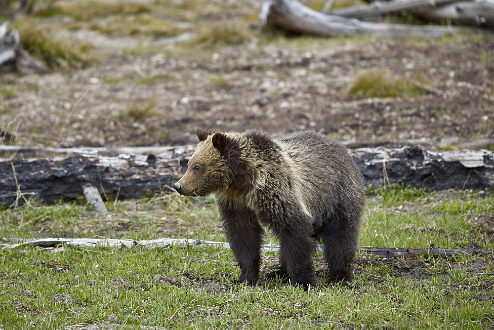 Grizzly Bear (Ursus arctos horribilis), yearling cub, Yellowstone National Park, Wyoming, United States of America, North America
