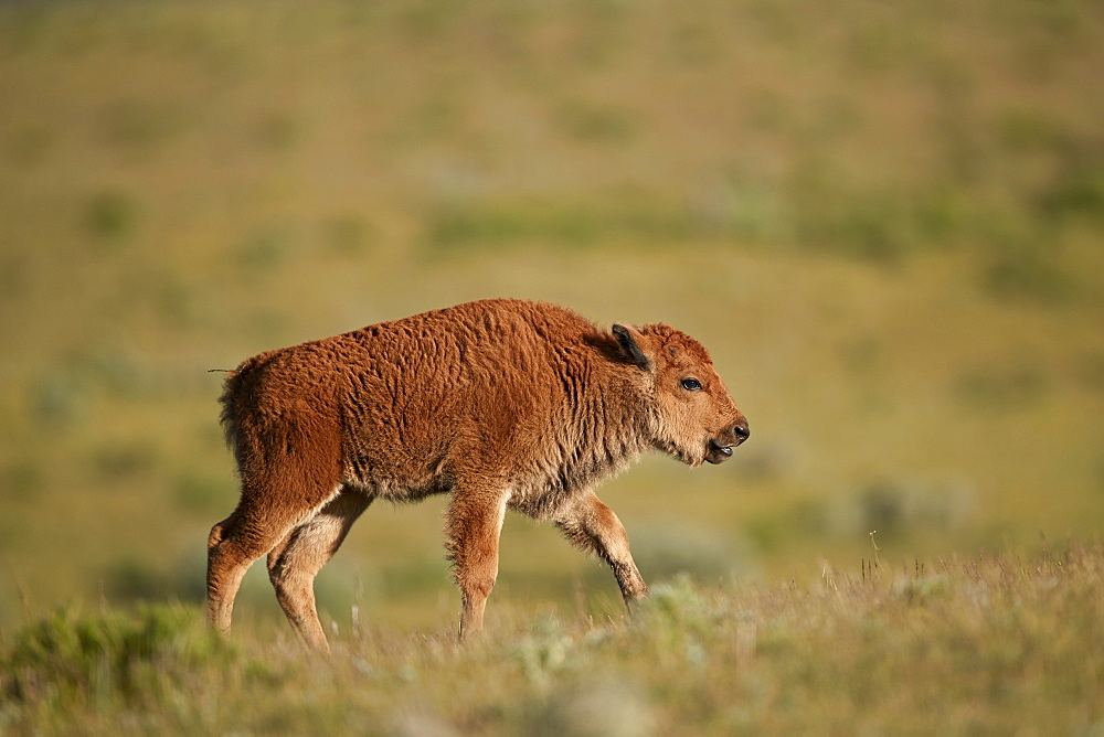 Bison (Bison bison) calf, Yellowstone National Park, Wyoming, United States of America, North America