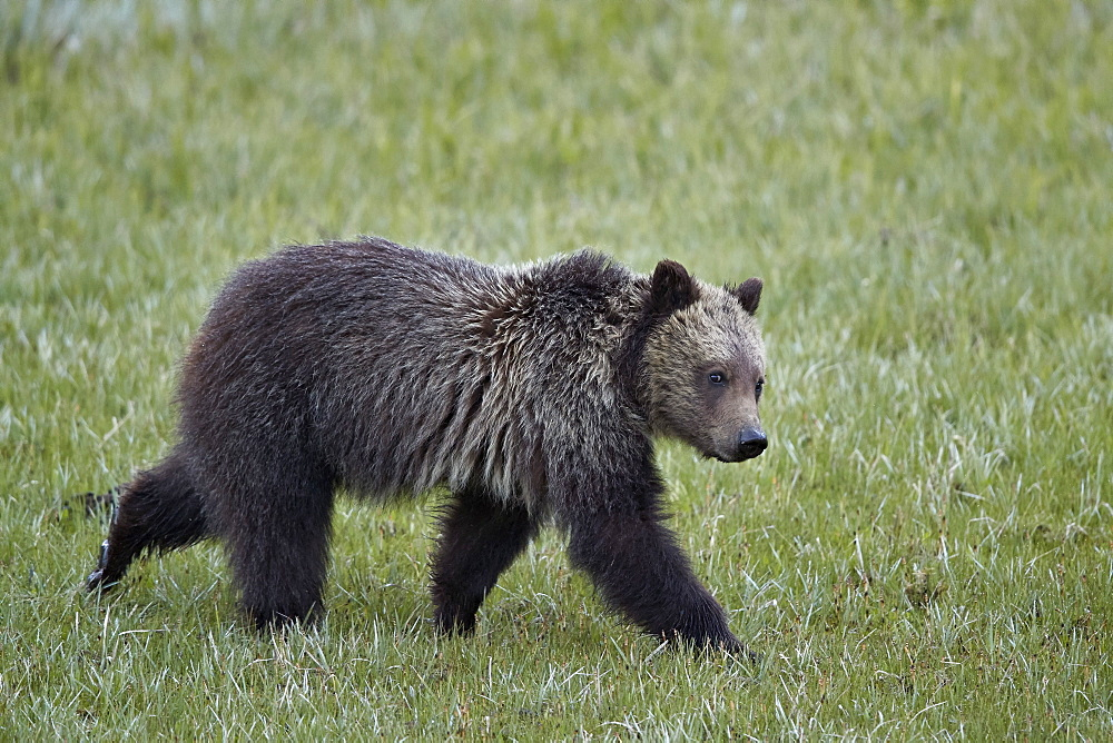 Grizzly Bear (Ursus arctos horribilis), yearling cub, Yellowstone National Park, Wyoming, United States of America, North America - 764-6197