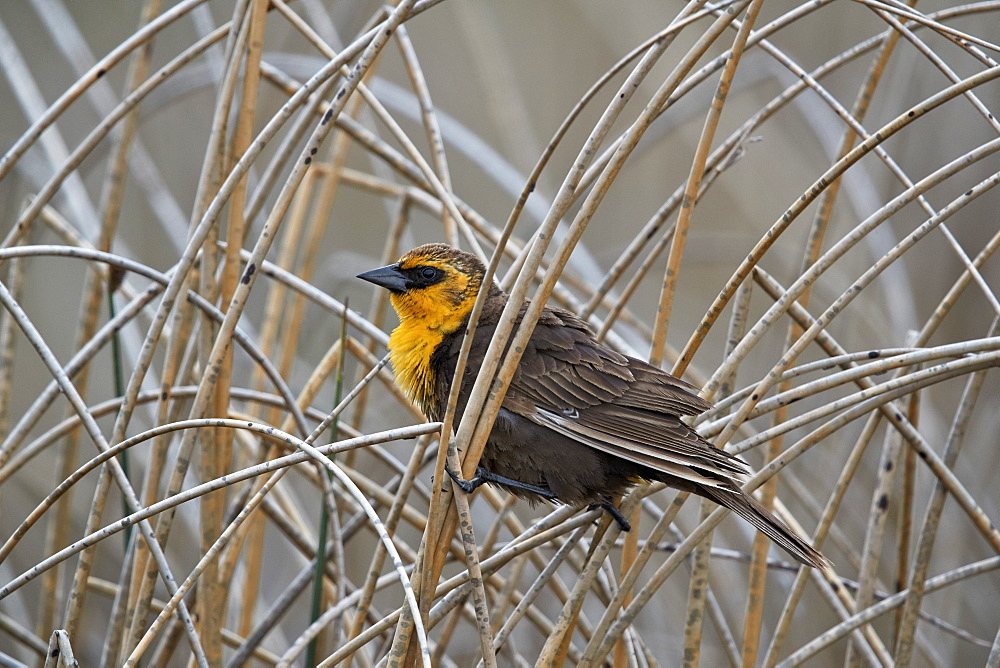 Yellow-headed Blackbird (Xanthocephalus xanthocephalus), female, Lac Le Jeune Provincial Park, British Columbia, Canada, North America - 764-6198