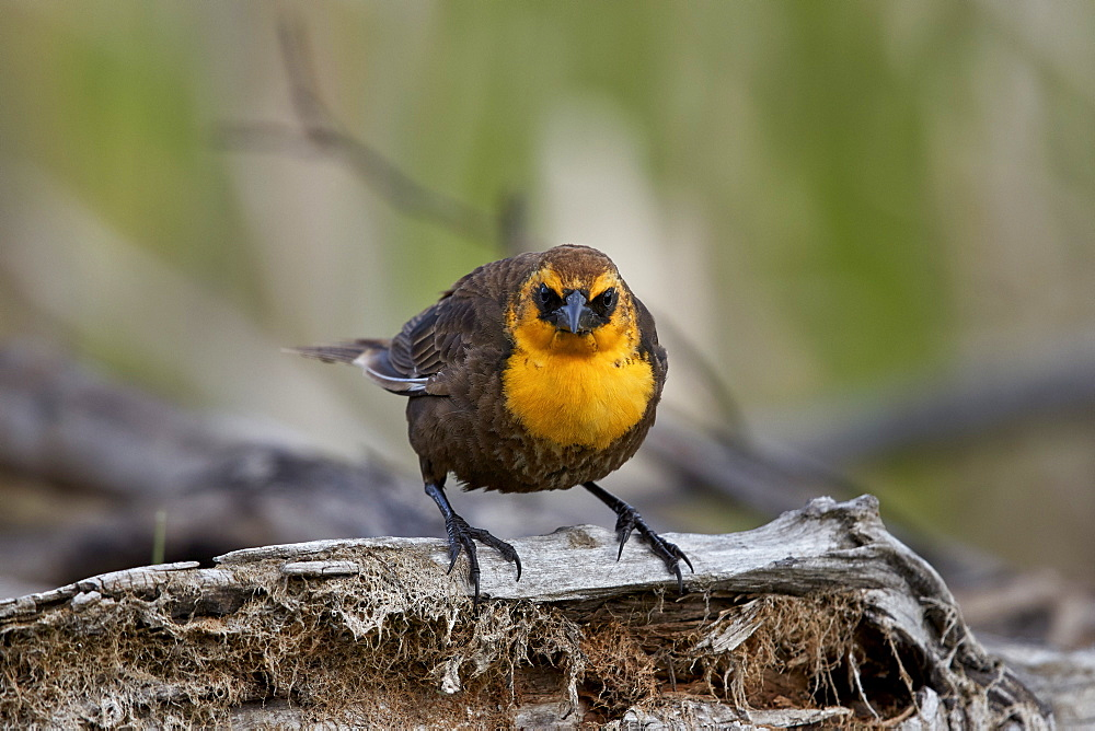Yellow-headed Blackbird (Xanthocephalus xanthocephalus), female, Lac Le Jeune Provincial Park, British Columbia, Canada, North America - 764-6199