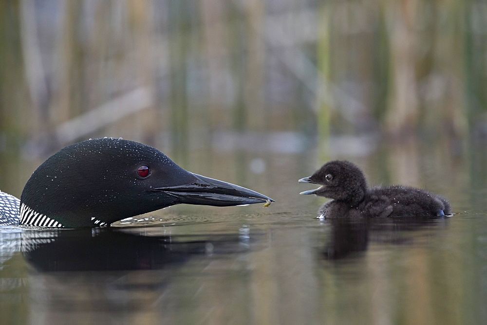 Common Loon (Gavia immer) adult feeding a chick, Lac Le Jeune Provincial Park, British Columbia, Canada, North America - 764-6205