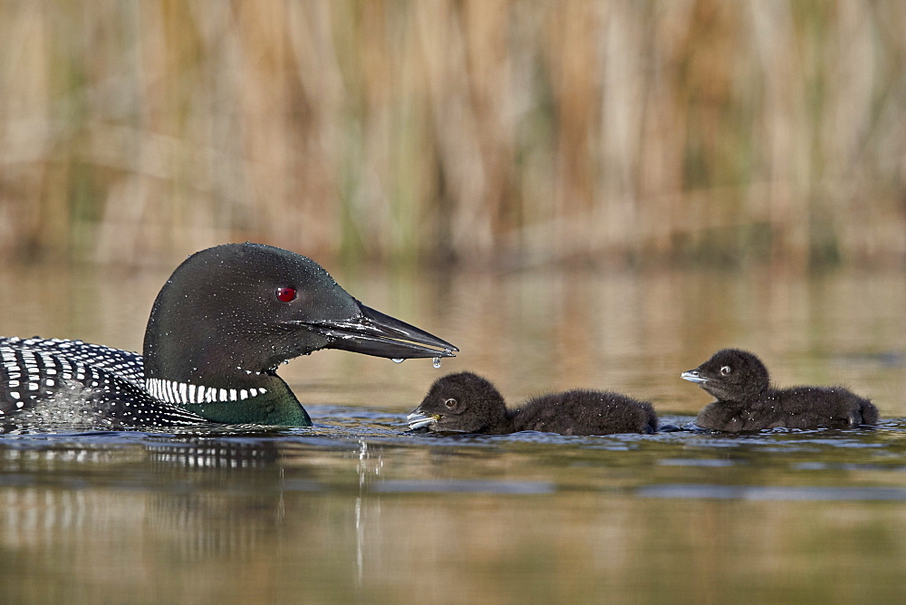 Common Loon (Gavia immer) adult and two chicks, Lac Le Jeune Provincial Park, British Columbia, Canada, North America - 764-6208