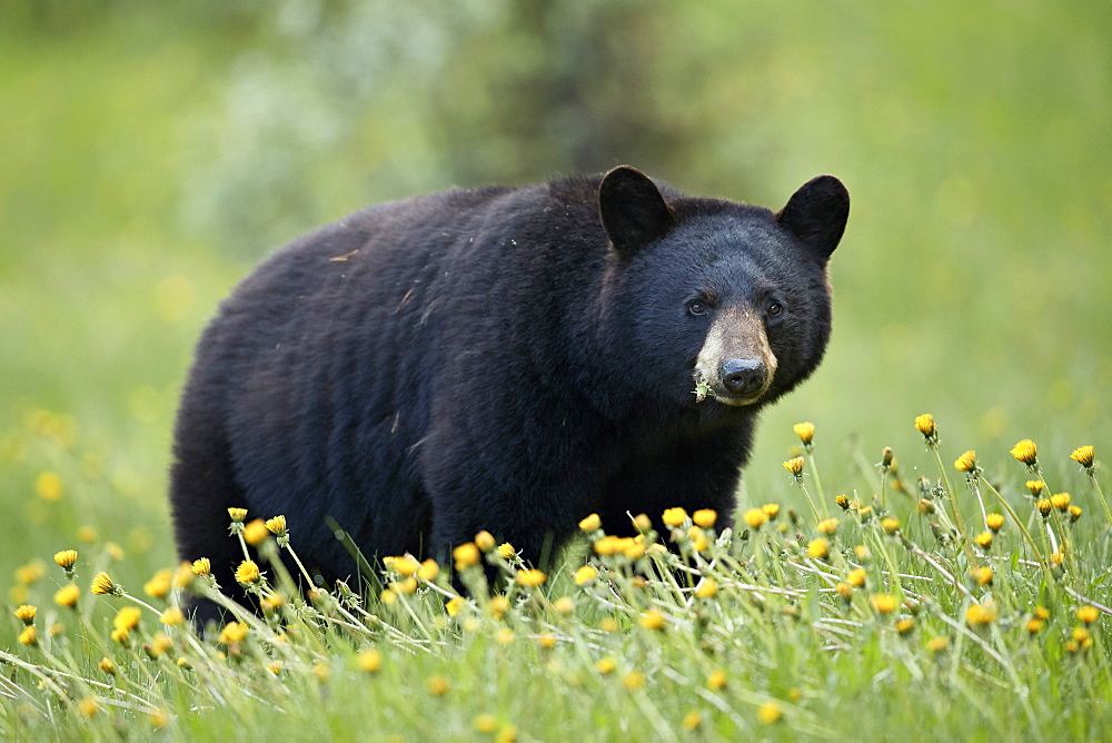 Black Bear (Ursus americanus) eating common dandelion (Taraxacum officinale), Jasper National Park, Alberta, Canada, North America - 764-6211