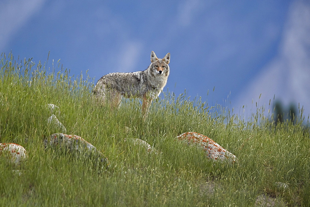 Coyote (Canis latrans), Jasper National Park, UNESCO World Heritage Site, Alberta, Canada, North America