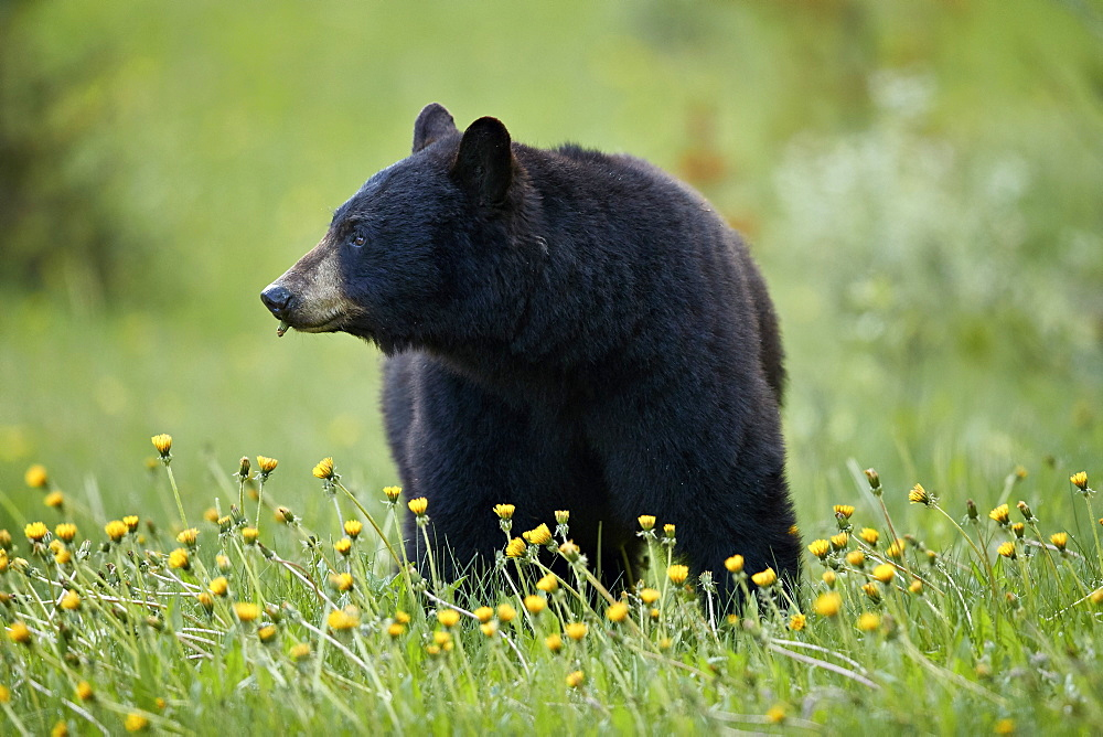 Black Bear (Ursus americanus) eating common dandelion (Taraxacum officinale), Jasper National Park, Alberta, Canada, North America - 764-6228