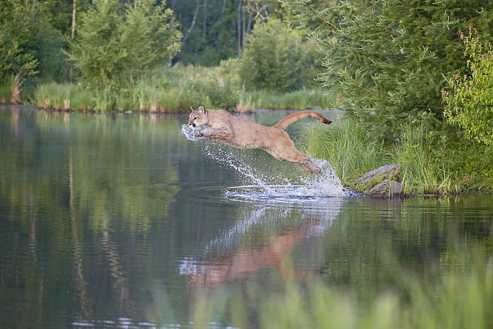 Mountain lion or cougar (Felis concolor) jumping into the water, in captivity, Sandstone, Minnesota, United States of America, North America