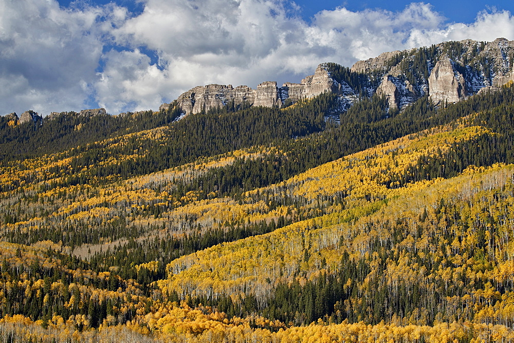 Yellow aspens in the fall, Uncompahgre National Forest, Colorado, United States of America, North America - 764-6243