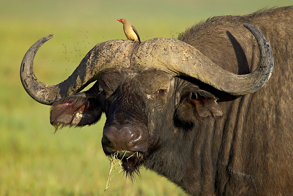 Cape buffalo (African buffalo) (Syncerus caffer) with a red-billed oxpecker (Buphagus erythrorhynchus), Ngorongoro Crater, Ngorongoro Conservation Area, Tanzania,East Africa,Africa