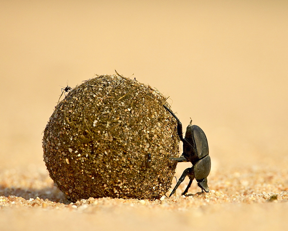 Dung beetle rolling a dung ball, Kruger National Park, South Africa, Africa