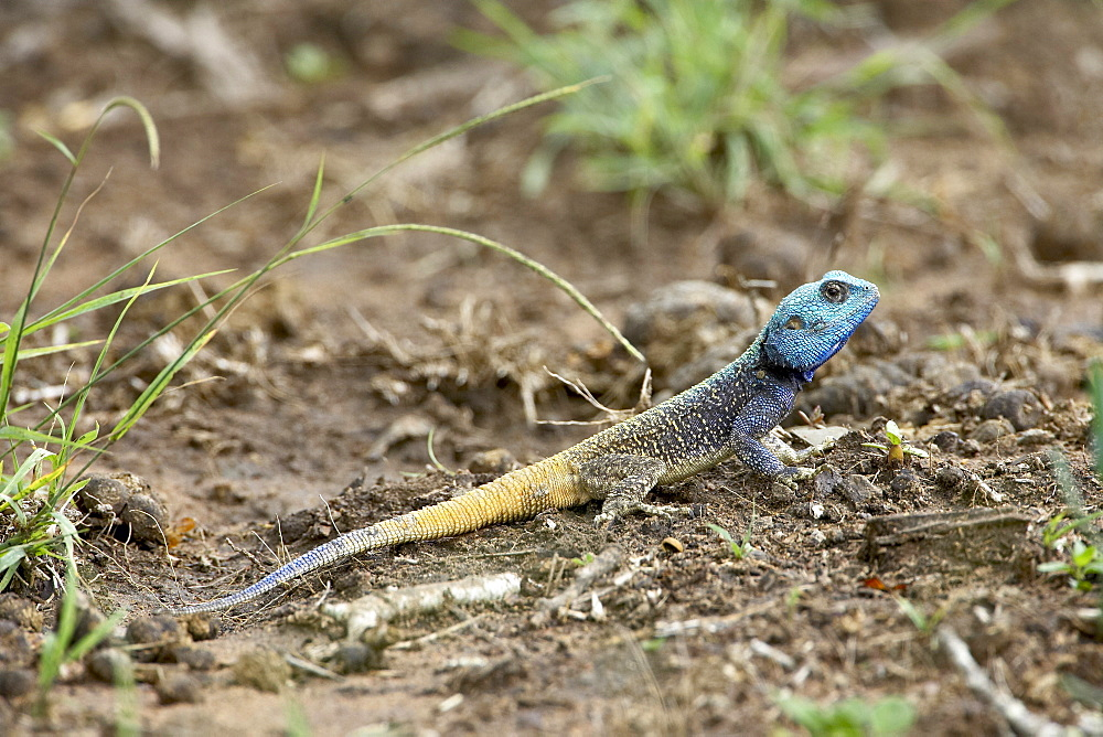 Southern tree agama (Acanthocerus atricollis), Imfolozi Game Reserve, South Africa, Africa
