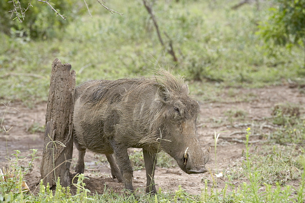 Warthog (Phacochoerus aethiopicus) using a scratching post, Imfolozi Game Reserve, South Africa, Africa