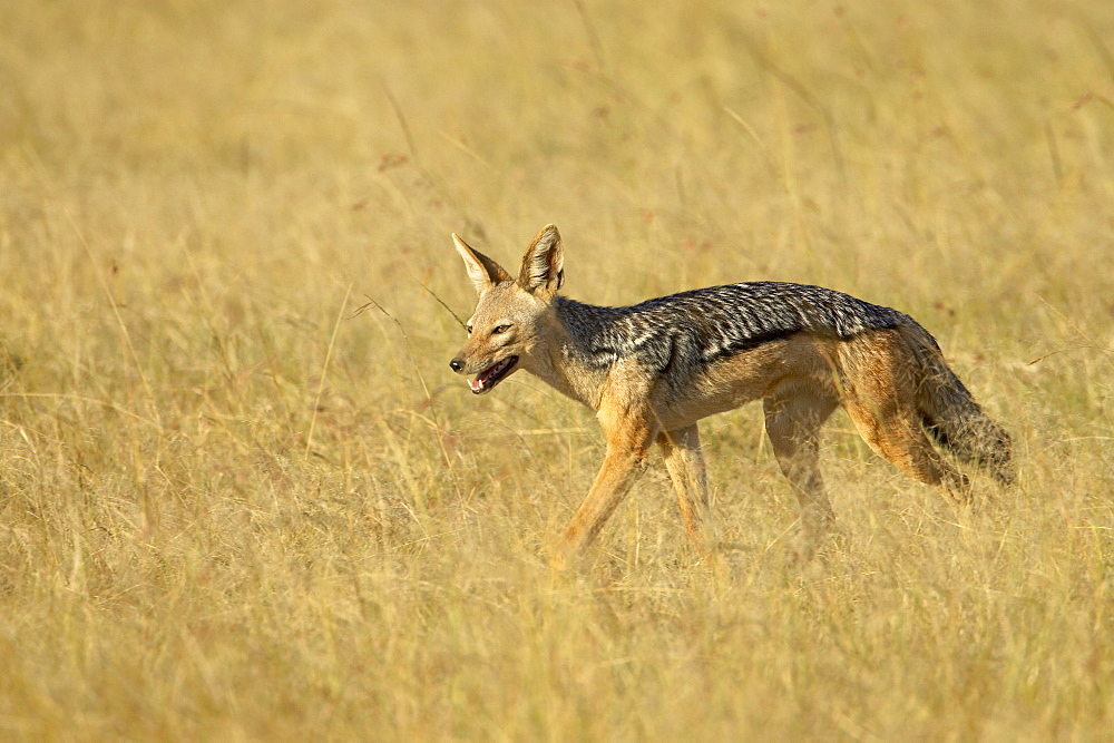 Black-backed jackal or Silver-backed jackal (Canis mesomelas), Masai Mara National Reserve, Kenya, East Africa, Africa