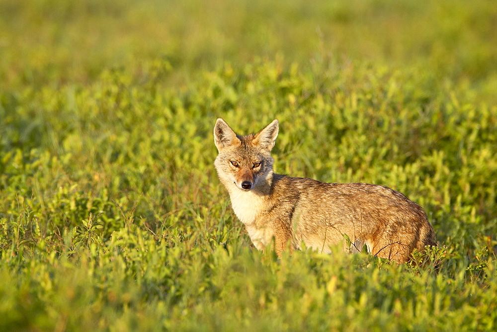 Golden jackal (Canis eaureus), Serengeti National Park, Tanzania, East Africa, Africa