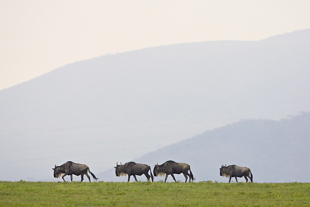 Four blue wildebeest (brindled gnu) (Connochaetes taurinus), Serengeti National Park, Tanzania, East Africa, Africa - 764-920