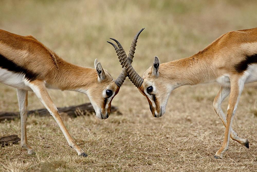 Male Thomson's gazelle (Gazella thomsonii) fighting, Masai Mara National Reserve, Kenya, East Africa, Africa