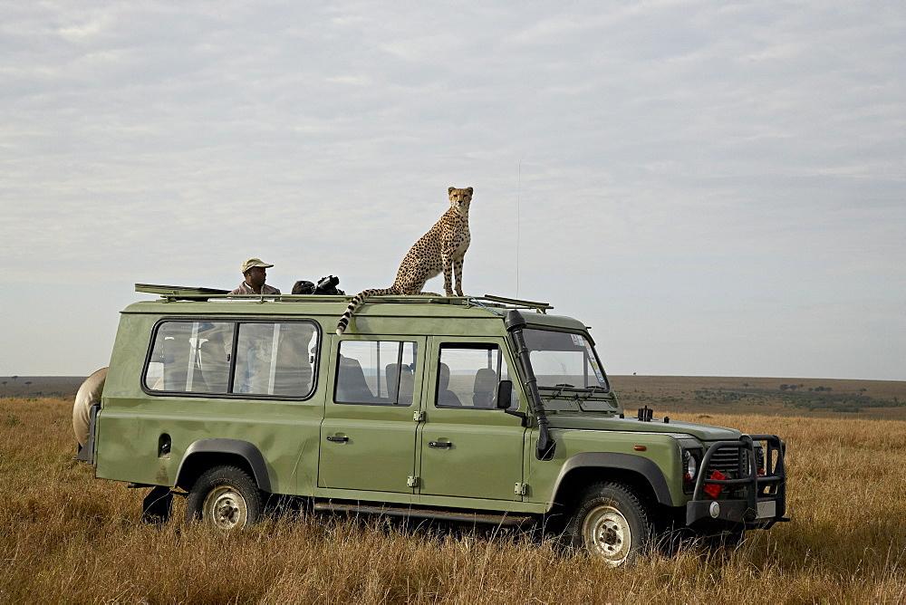 Cheetah (Acinonyx jubatus) on Land Rover safari vehicle, Masai Mara National Reserve, Kenya, East Africa, Africa - 764-950