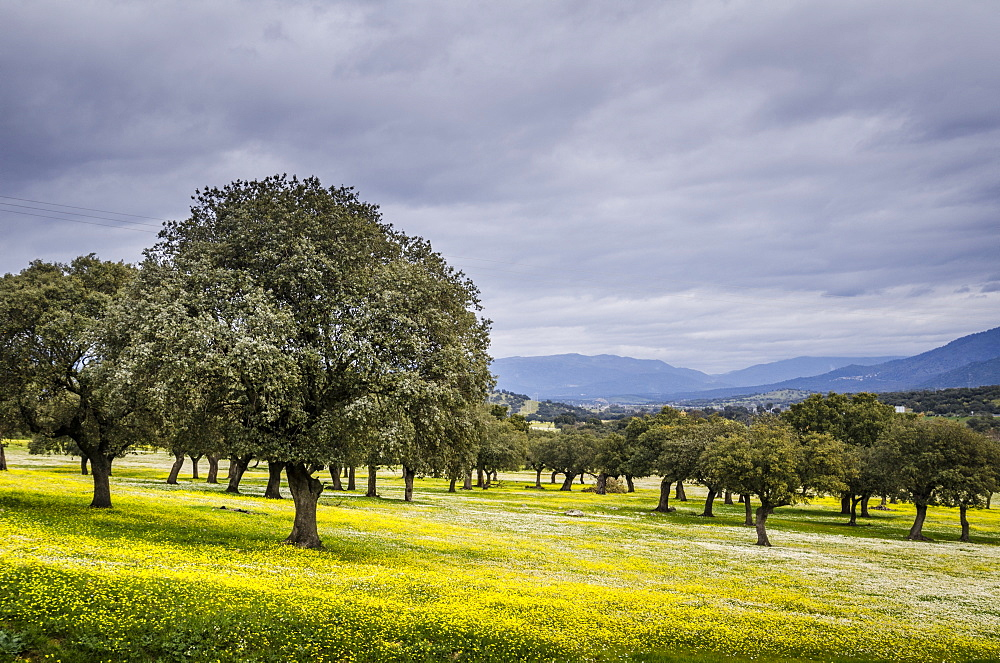 Dehesa Landscape, Caceres, Extremadura, Spain, Europe