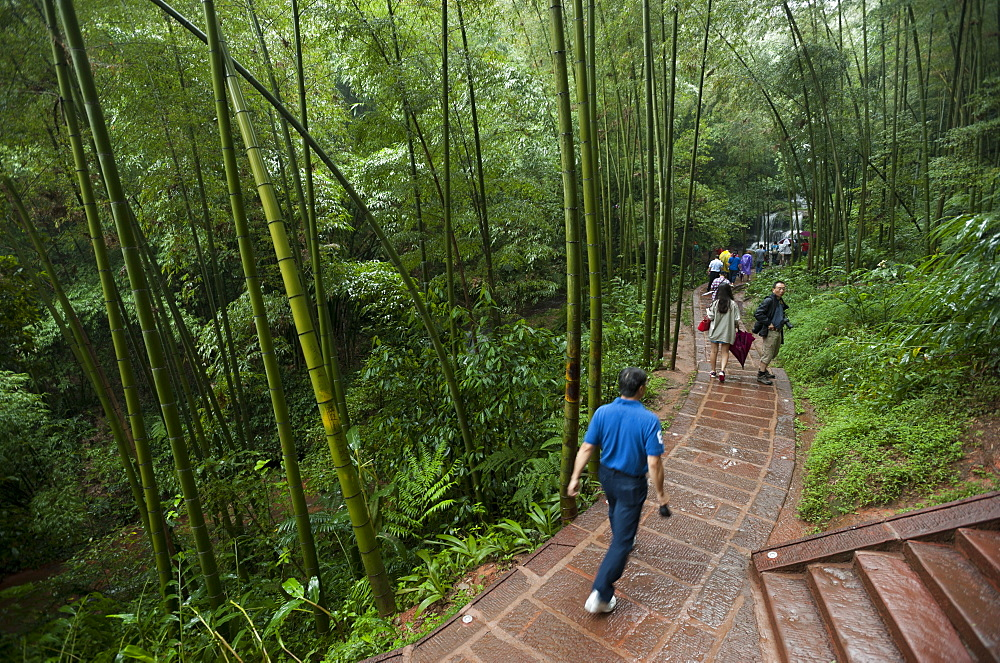 Bamboo Forest, Sichuan Province, China, Asia