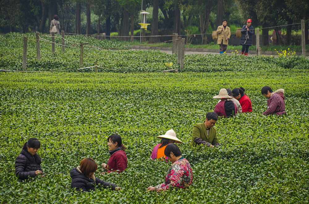 Dragon Well Green Tea Plantation near Hangzhou, Zhejiang province, China, Asia - 767-1232