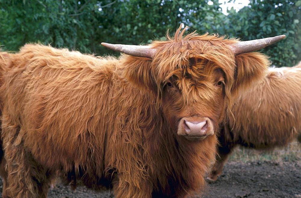 Highland cattle, Scotland, United Kingdom, Europe