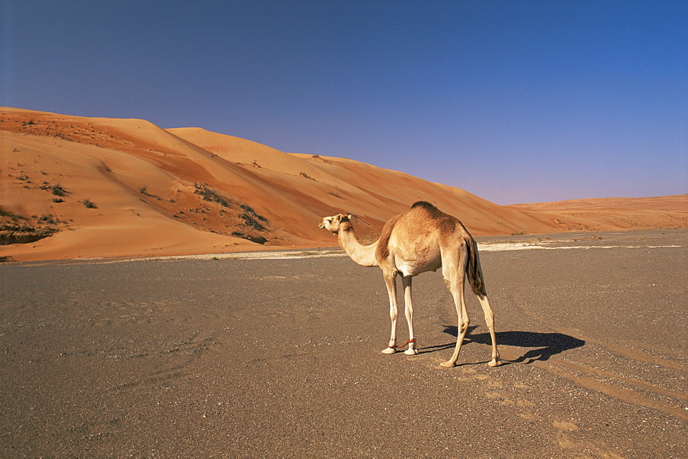 Camel in the desert, Wahiba Sands, Sharqiyah region, Oman, Middle East - 770-127