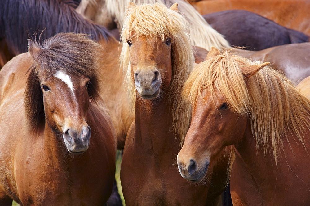 Icelandic horses, near Skogar, South Iceland (Sudurland), Iceland, Polar Regions - 770-1542