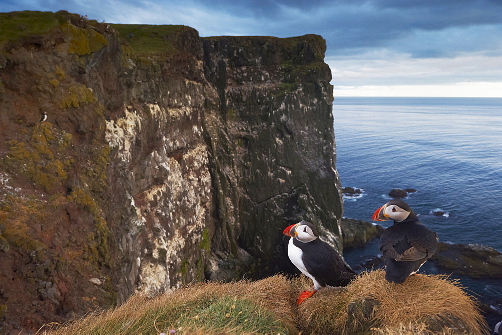 Puffins (Fratercula arctica) at Latrabjarg, largest bird colony in Europe, West Fjords (Vestfirdir), Iceland, Polar Regions - 770-1559