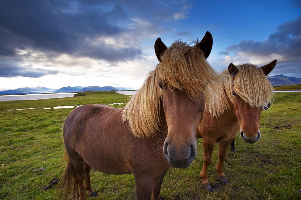 Icelandic horses, near Hofn, Hornafjordur mountains and glaciers behind, East Fjords region (Austurland), Iceland, Polar Regions - 770-1577
