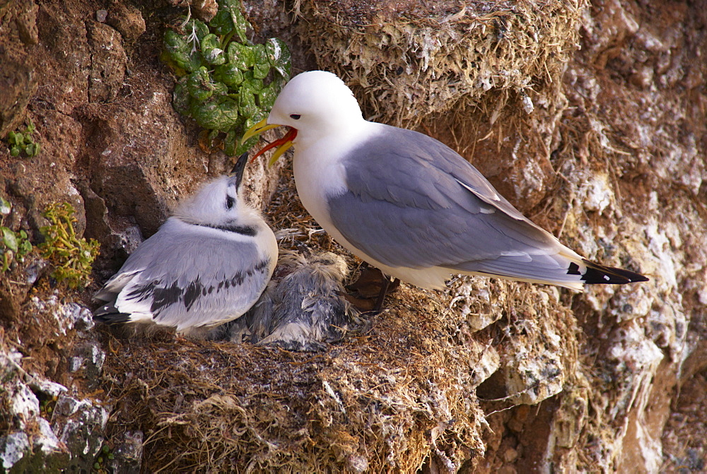 Kittiwakes (Rissa tridactyla) on small cliffs near Bakkagerdi (Borgafjordur Eystri), East Fjords (Austurland), Iceland, Polar Regions - 770-1582