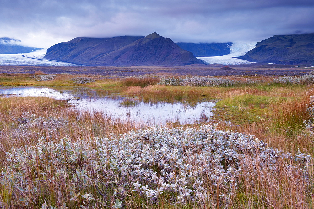 Arctic plants in autumn in Skaftafell National Park, Mount Hafrafell and Svinafellsjokull glacier in the distance, south-east Iceland (Austurland), Iceland, Polar Regions - 770-1682
