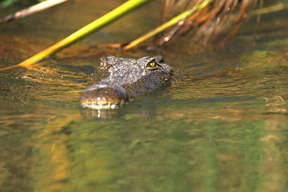 A Nile crocodile (Crocodylus niloticus) in water, Moremi Wildlife reserve, Okavango Delta, Botswana, Africa - 770-1736