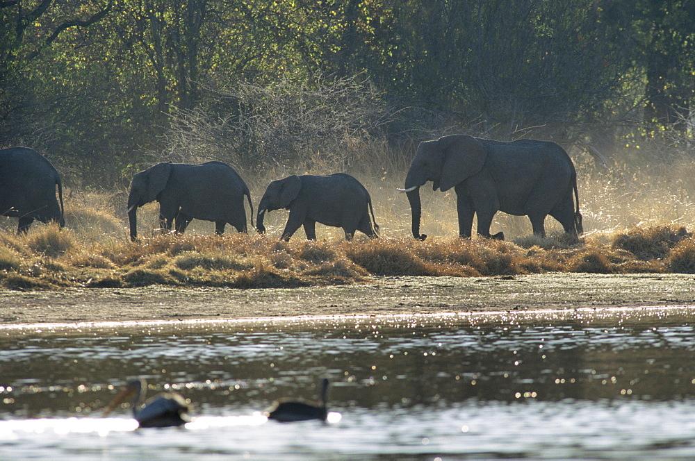 Elephants, Moremi Wildlife reserve, Okavango Delta, Botswana, Africa - 770-1739