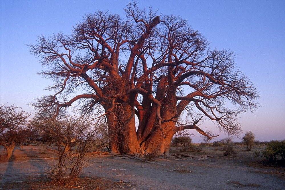 Chapman's Baobab, claimed to be the largest tree in Africa at 25 metres around, camped under and measured by early explorers Chapman, Baines, Livingstone and others. Makgadikgadi Pans National Park, Botswana, Africa - 770-1756