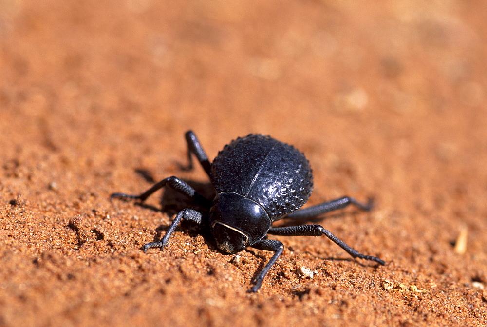 Tenebrionid beetle (Onymacris unguicularis), Namib desert, Sossusvlei, Nabib-Naukluft Park, Namibia, Africa - 770-1771