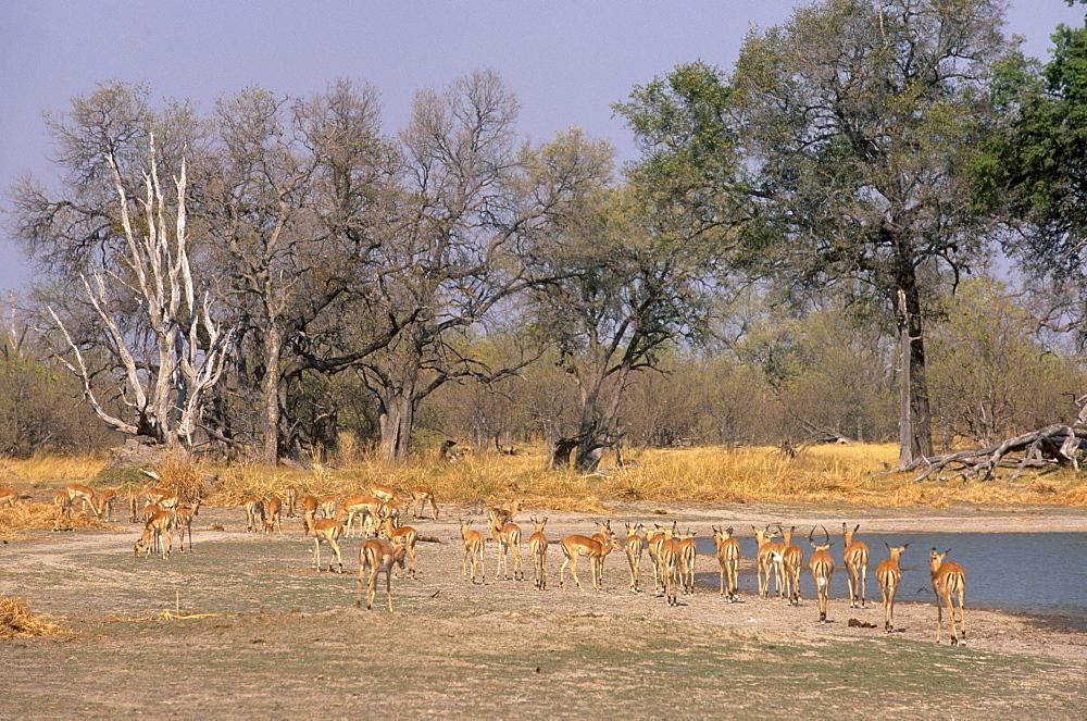 Impalas grazing in Moremi Game Reserve, Okavango Delta, Botswana, Africa - 770-1778