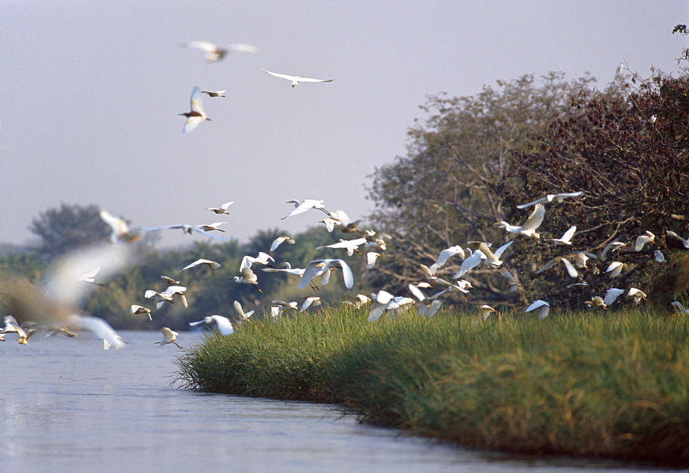 Birds in reedbeds, Okavango River, Botswana, Africa - 770-1781