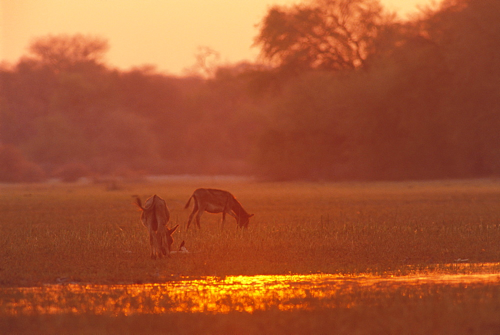 Donkeys at sunset in swamps near Okavango River, Botswana, Africa - 770-1783