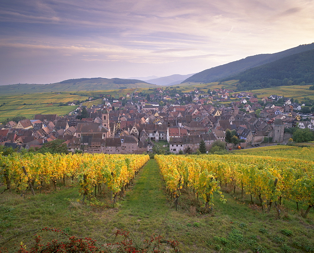 Riquewihr, emblematic medieval village of the Alsatian Wine Road, from the vineyards, Haut Rhin, Alsace, France, Europe - 770-1784