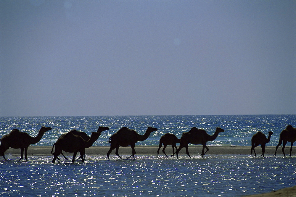 Camels crossing coastal lagoon and Arabian Sea, near Salalah, Dhofar region, Oman, Middle East